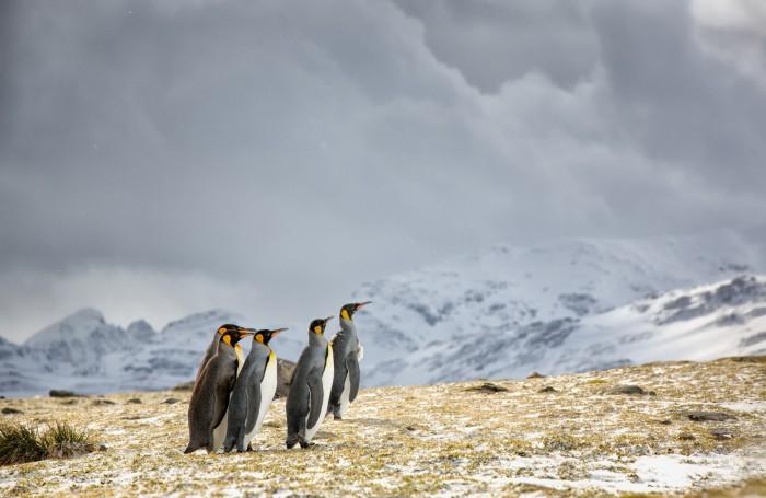 Grupa pingwinów wkrótce będzie musiała stawić czoła nadchodzącemu sztormowi. Zdjęcie wykonane ap ...